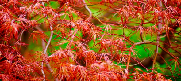 Japanese Maple at the Brooklyn Botanic Garden