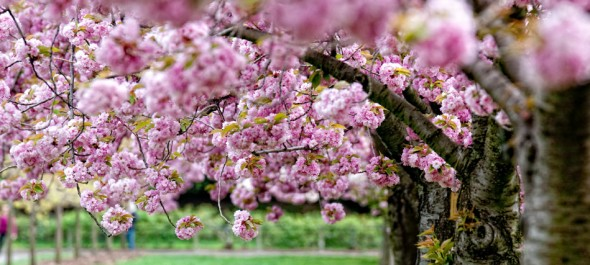 Cherry Trees at the Brooklyn Botanic Garden