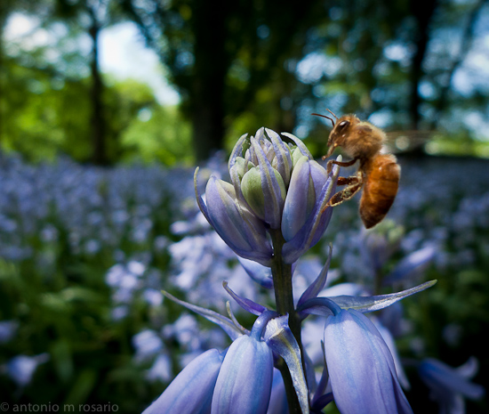 LX3 100506 252 Edit Bee on Bluebells