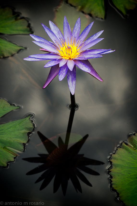 One Purple Lotus