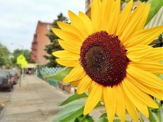 Sunny (flower) day on Cortelyou Road