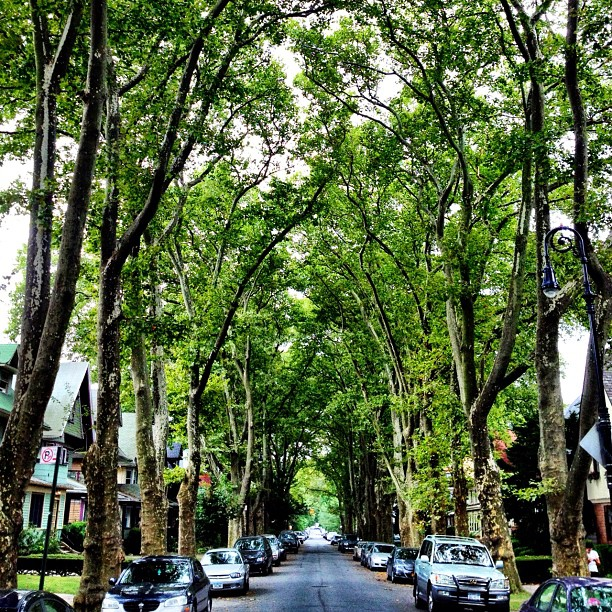 Cathedral of trees on Argyle Road, Brooklyn.
