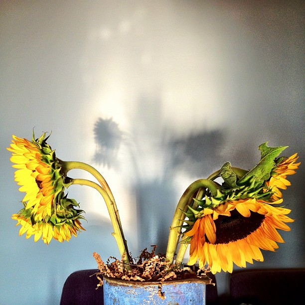 Sunflowers making some awesome shadows on the wall this morning from reflected sun of the floor